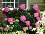 Hydrangea_pink