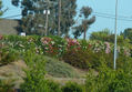Oleander2