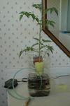 Tomato_hydroponic